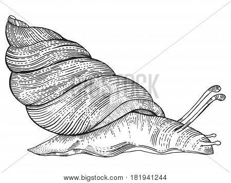 Snail engraving vector illustration. Scratch board style imitation. Hand drawn image.