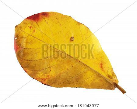 closeup yellow leaf isolated on white background, leaf change color in the rainy season