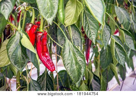 Close-up of sweet red peppers hydroponically grown in a greenhouse in the Netherlands.