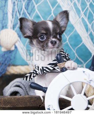 Chihuahua puppy with paws