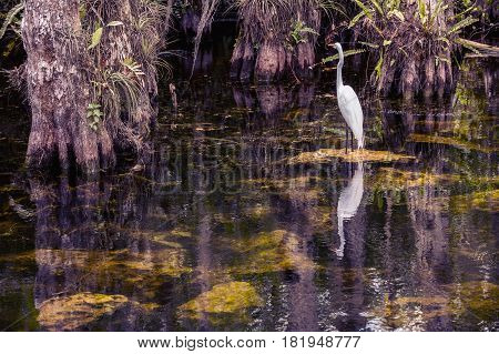 White heron in swamps Everglades. View of the Florida Everglades with a white heron in the background.