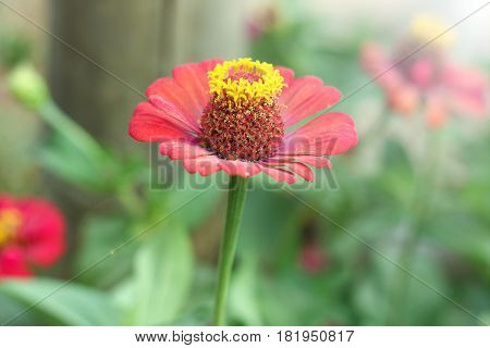 Chrysanthemum indicum Linn. Or Chrysanthemum morifolium Ramat, trees