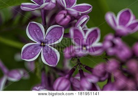 Syringa vulgaris. Common lilac. Purple lilac flower. Selective focus.