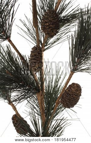 Spruce twig with pines winter on white background