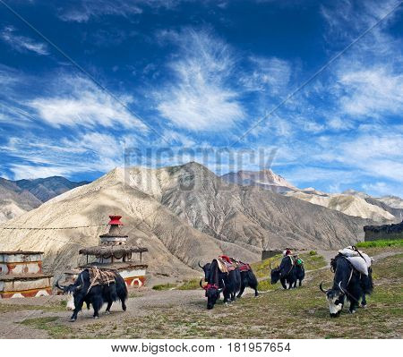 Caravan Of Yaks Crossing On The Road In Upper Dolpo, Nepal