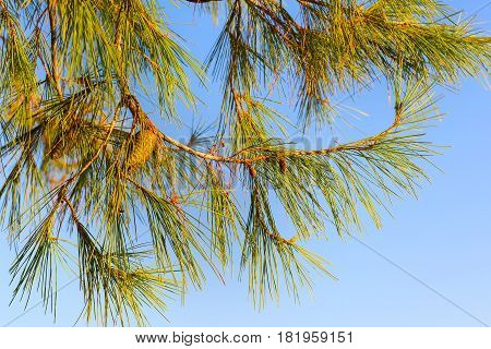 Branches of conifer and blue sky texture background