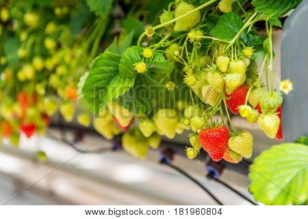 Many ripening strawberries grown without soil at an ergonomic picking height in a modern specialized Dutch greenhouse.