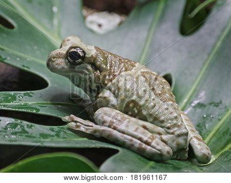 Mission golden-eyed tree frog sitting on a big leaf in its habitat