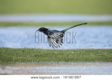 Magpie Flying From The Grass, Close Up