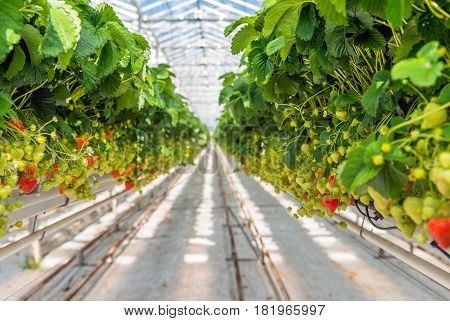 Overview of long rows with a lot of ripening strawberries grown without soil and at an ergonomic picking height in a modern specialized Dutch greenhouse.