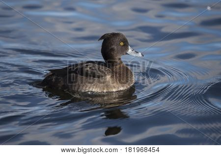 Tufted Duck, Female, On A Loch, Close Up