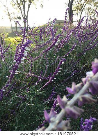 Lavender flowers in garden
