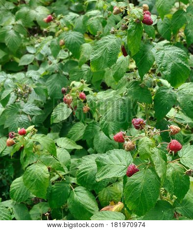 close-up of raspberry plantation in the garden