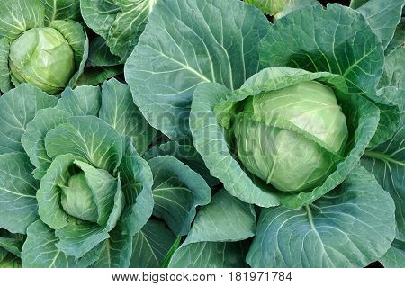 close-up of organically cultivated cabbage plantation in the vegetable gardenview from above