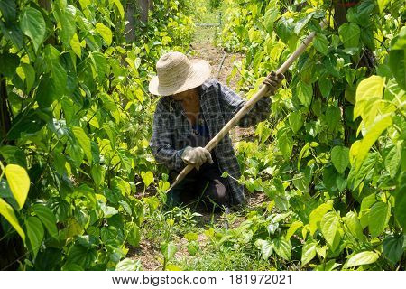 Senior work at plantation active female farmer in the plantation