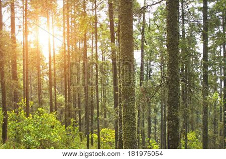 Beautiful landscape with summer coniferous forest and sun. Monarch Butterfly Biosphere Reserve, Mexico