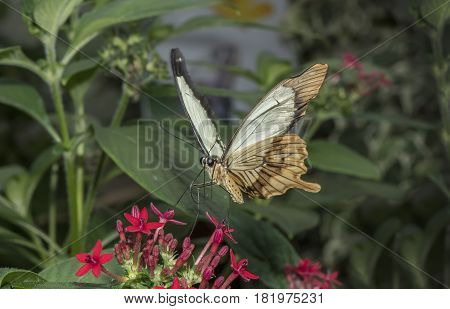 African Swallowtail Perched On A Flower Drinking Nectar
