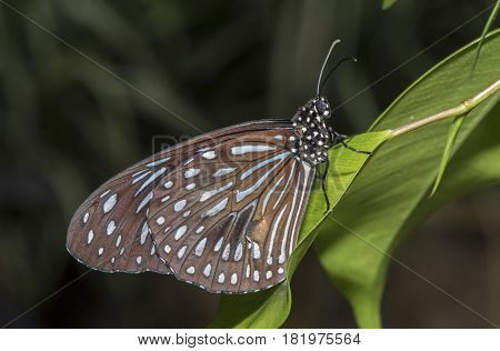 Dark Blue Tiger Butterfly, Tirumala Septentrionis, Perched On A Leaf, Close Up