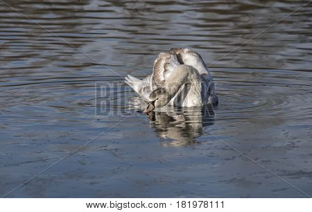 Mute Swan Cygnet Drinking From A Pond