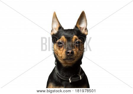 portrait of a dog breed toy terrier isolated on white
