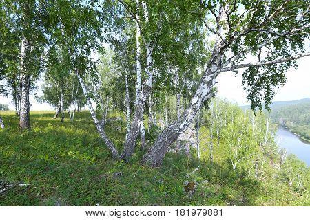 Birch Grove In The Urals
