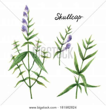 Hand drawn watercolor botanical illustration of Skullcap. Healing Healing Herbs for design of natural food, kitchen, market, menu.