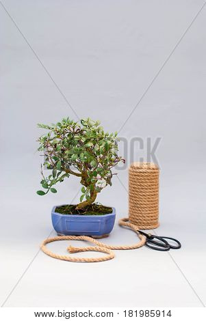 Bonsai in a ceramic pot on a light gray background. Bonsai in a clay pot and tools.