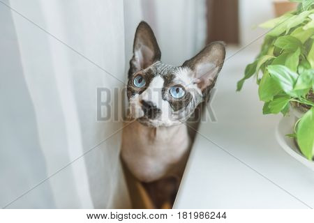 Canadian hairless sphinx cat sits near a window sill with houseplants in front of a window and looks up. White curtains at the background