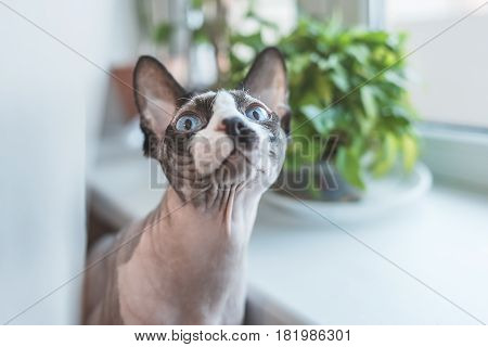 Canadian hairless sphinx cat sits near a window sill with houseplants in front of a window and looks funny to the camera. White curtains at the background