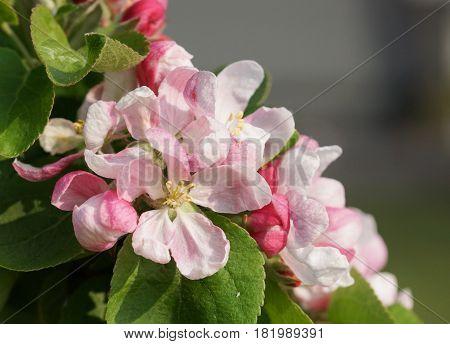 Blossom of apple tree, Malus, flowers of springtime