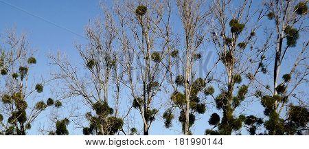Mistletoe in poplar trees in rural central France