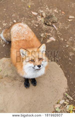 Fox seeking for food