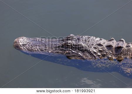 Big american alligator in the Everglades National Park. Florida United States