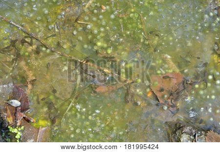 A close up of the tadpoles and spawn in water.
