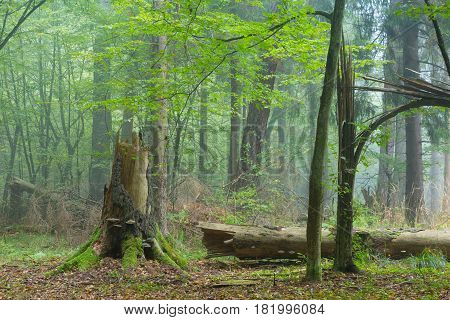 Autumnal deciduous stand with dead tree stump partly declined in foreground with some polypore fungi, Bialowieza Forest,Poland,Europe