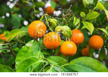 The fruit of the orange tree. branch orange tree fruits green leaves
