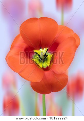 View of a red tulip on a diffused background.