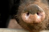 close-up of a hairy pig snout covered in dirt poster