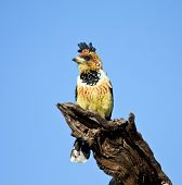 Crested Barbet sitting on a stump against bright blue sky poster