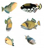 Triggerfish fish isolated on white background. Yellowmargin, Clown and Titan Triggerfishes. poster