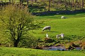 Scenic view of Lambs and sheep in green field by a stream in England. poster