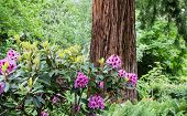 Purple rhododendrons by a redwood tree in a northwest forest poster