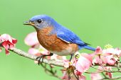 Male Eastern Bluebird (Sialia sialis) in a Dogwood tree with flowers poster
