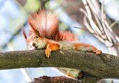 Curious fluffy red squirrel peeking behind the tree trunk. The red squirrel or Eurasian red squirrel (Sciurus vulgaris) is a species of tree squirrel in the genus Sciurus common throughout Eurasia. poster