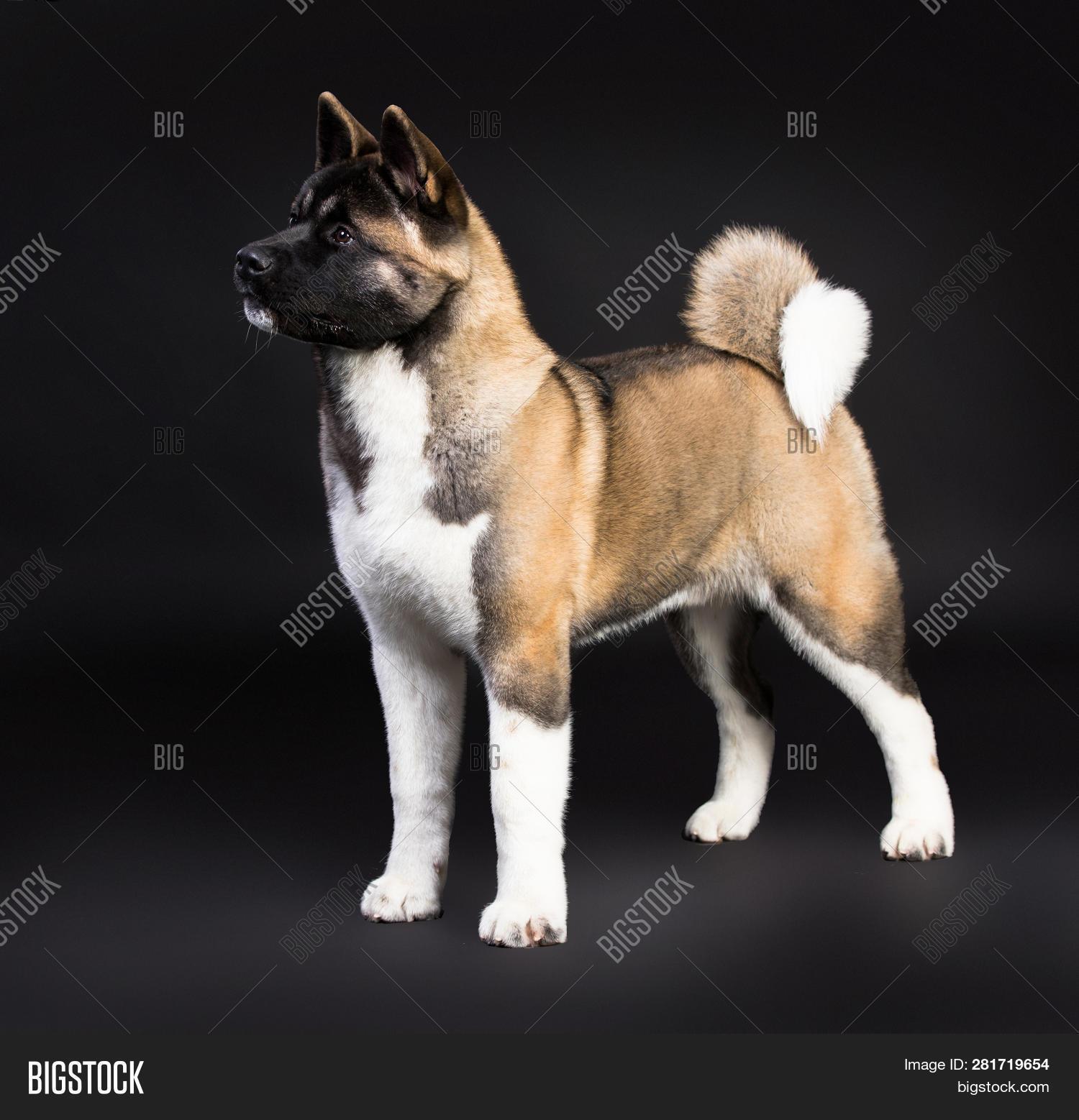 American Akita Puppy Image Photo