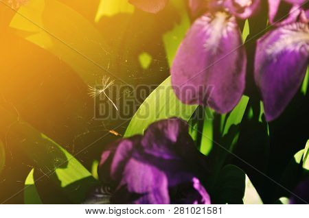 Spring flower background - spider web among spring purple iris flowers under sunset light. Focus at the spider web. Colorful spring flower landscape