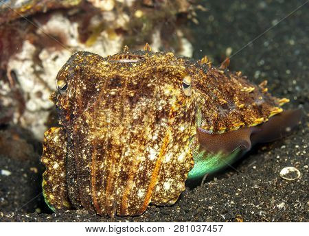 Cuttlefish Or Cuttles Are Marine Molluscs Of The Order Sepiida,class Cephalopoda