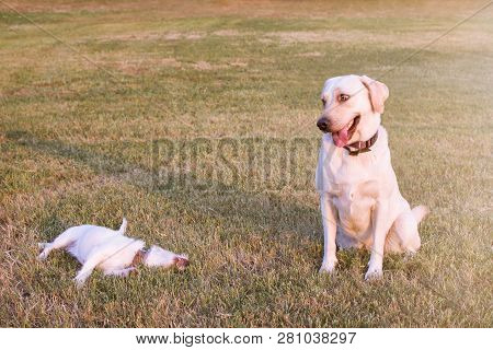 Portrait Funny Two Dogs. Labrador Making A Face And A Jack Russell Wallow On Grass. Outdoors Shot.