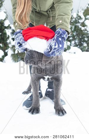 Cute Cane Corso Puppy Six Month In Santa Hat