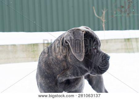 Cane Corso Puppy Near House Outdoor Profile